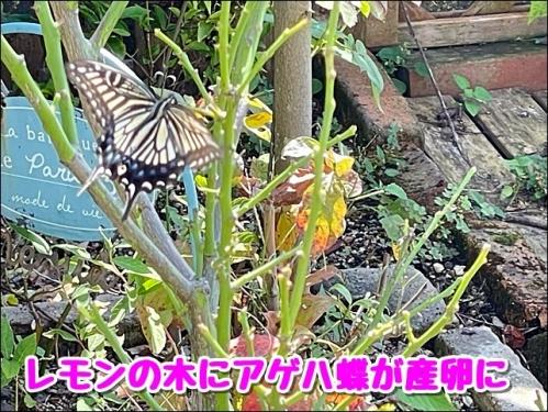 アゲハ蝶にが産卵に