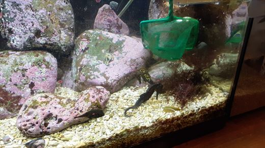 最近の海水魚水槽 (4)