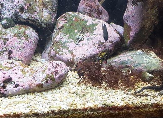 最近の海水魚水槽 (6)